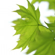 Green maples — Stock Photo