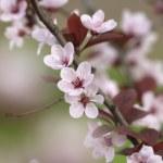 Chinese cherry twig — Stock Photo