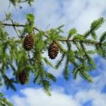 borovice — Stock fotografie