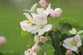 Apple flower in spring sunny day — Stock Photo