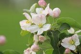 Apple flower in spring sunny day — Stock Photo