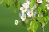 Branch of fresh apple tree — Stock Photo
