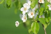 Branch of fresh apple tree — Stock Photo