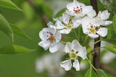 Branch of flowering apple tree — Stock Photo