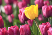 Sunny tulip in violet glade — Stock Photo