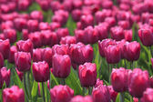 Glade of tulips — Stock Photo
