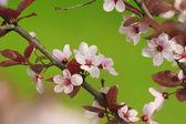 Branche d'arbre à fleurs roses rouges — Photo
