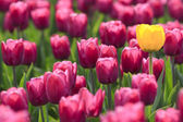 Violet tulips and yellow one — Stock Photo