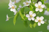 Branch of apple tree — Stock Photo