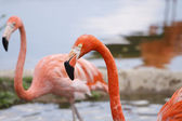 Couple of flamingo — Stock Photo