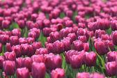 林间空地上紫郁金香 — 图库照片