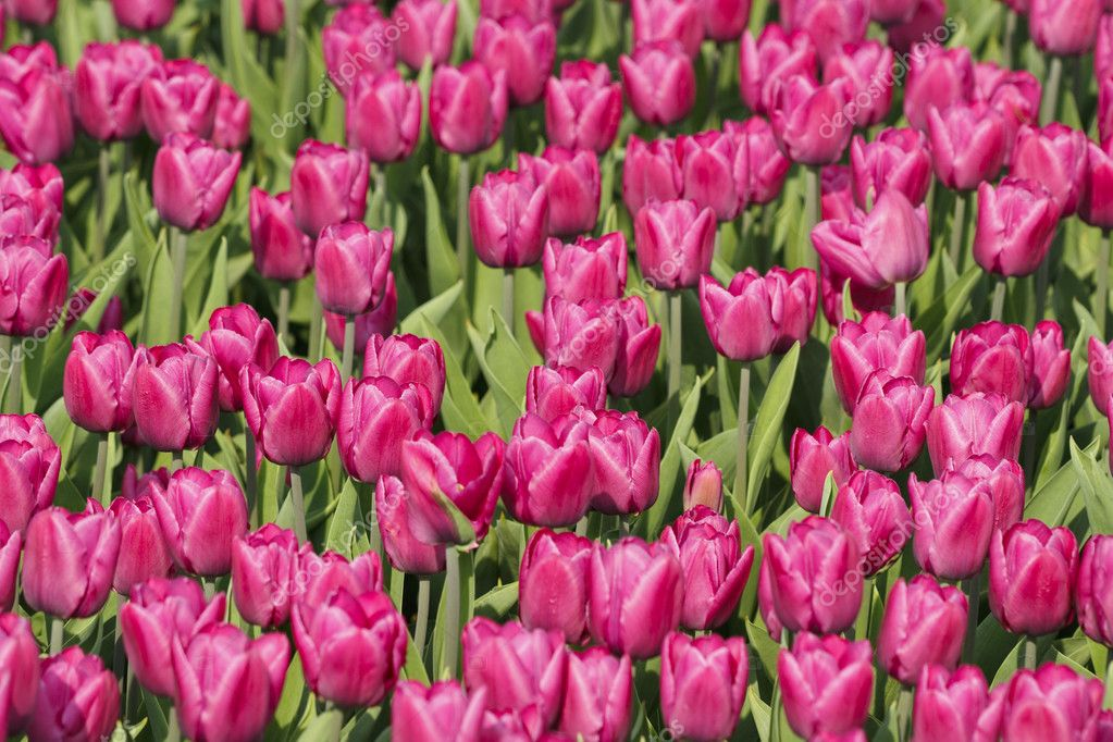 Glade of purple tulips are in sunny day. — Stock Photo #2035678