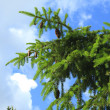 Branch of evergreen tree - Stock Photo