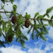Branch of fir tree - Foto Stock