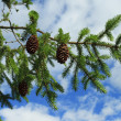 Branch of fir tree - 