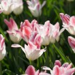 Red and white tulips — Stock Photo #2052954