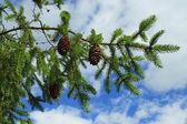 枞树的分支 — 图库照片