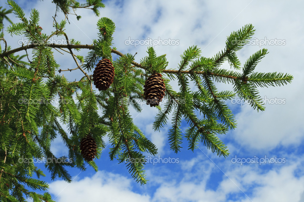 Branch of fir tree with strobiles — Stock Photo #2051597