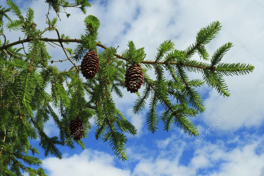 Branch of fir tree with strobiles    #2051597