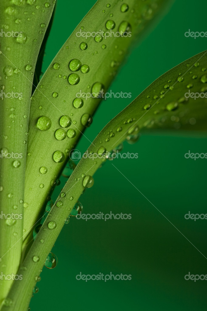 Three part of bamboo leaves and drops on it  Stock Photo #2052002
