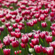 Stock Photo: Glade of red tulips