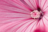Tenderness of pink flower — Stockfoto