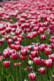 Glade of red tulips — Stock Photo