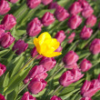 Yellow tulip with purple ones — Stock Photo #2386887