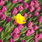 Yellow tulip with purple ones — Stock Photo