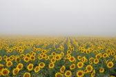 Mistige zonnebloemen — Stockfoto