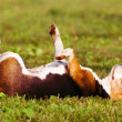 Stock Photo: Day Dreams of a dog, on grass