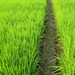 Stock Photo: Path in Green field
