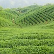 Tea farm — Stock Photo