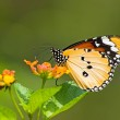 Milkweed butterfly — Stock Photo