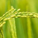 Paddy rice harvest — Stock Photo #1808577