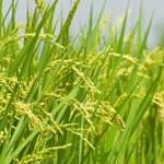 Paddy rice harvest — Stock Photo #1808586