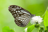 Бабочка молочая — Стоковое фото