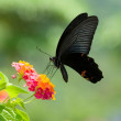 Flying swallowtail butterfly feeding — Stock Photo