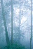 Pine tree forest with fog. — Stock Photo