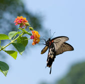 Swallowtail butterfly flying — Stock Photo