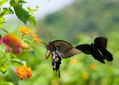 Swallowtail butterfly flying and dancing — Stock Photo