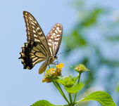 Colorful swallowtail butterfly flying — Stock Photo