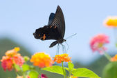 Big black swallowtail butterfly flying — Stock Photo