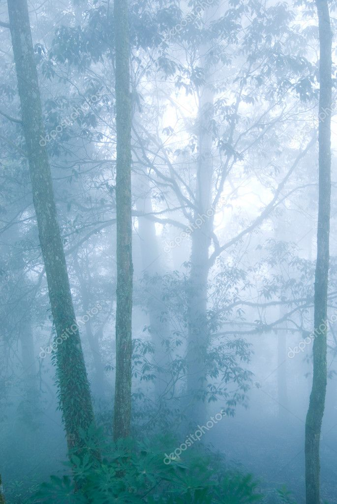 Deep fog in natural woodland. pine tree forest. — Stock Photo #1816027