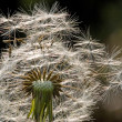 Seed of Dandelion flower — Stock Photo