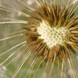 Dandelion seeds in heart pattern — Stock Photo