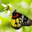 Corlorful Butterfly in red and yellow - Stock Photo