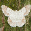 White moth on pine tree background — Stockfoto