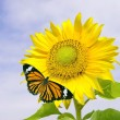 Sunflower and orange butterfly — Stock Photo