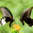 Swallowtail Butterfly share flowers — Stock Photo #2119899